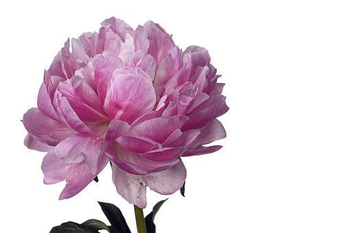 peony flower images pixabay download free pictures