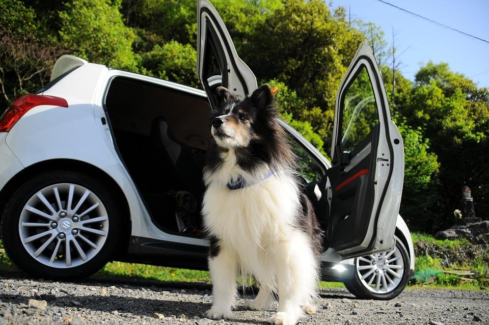 Hond, Auto, De Prachtige