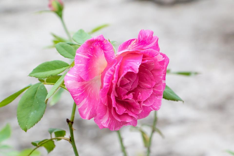 Rose Plante Vivace Photo Gratuite Sur Pixabay