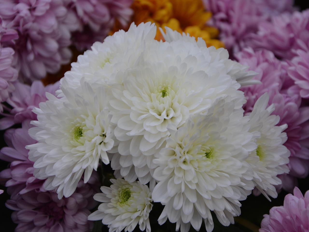 Хризантемы фото букет хорошего