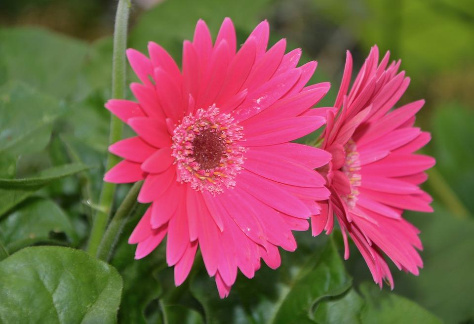 Fleur Marguerite Rose Feuilles Photo Gratuite Sur Pixabay