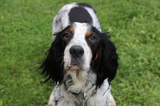 English Setter Puppies For Sale in Montana