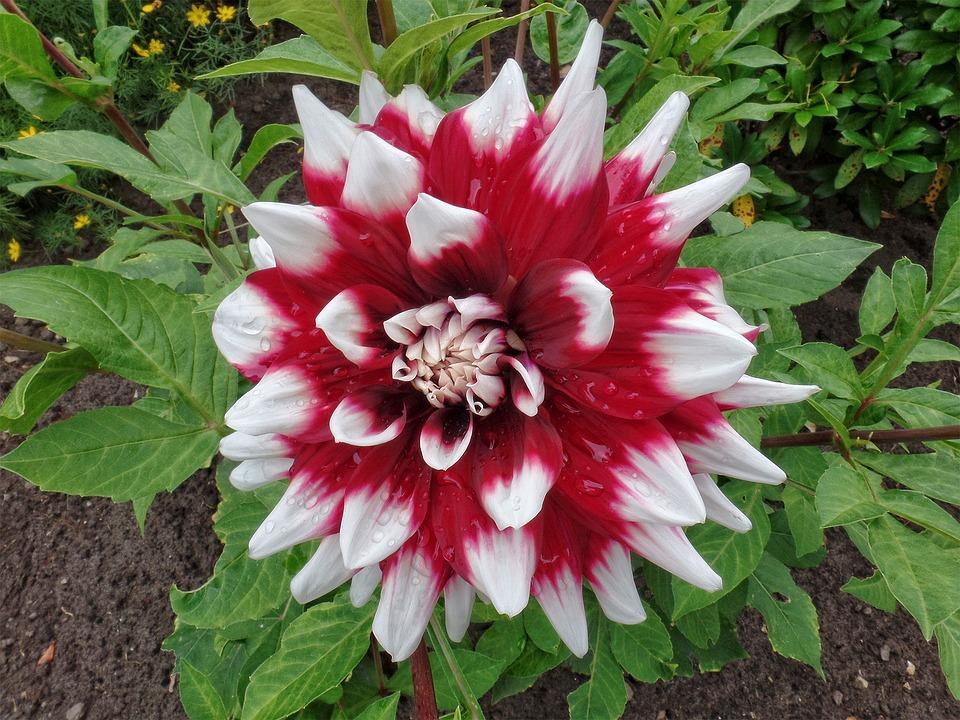 Dahlia Bunga Musim Gambar Gratis Di Pixabay