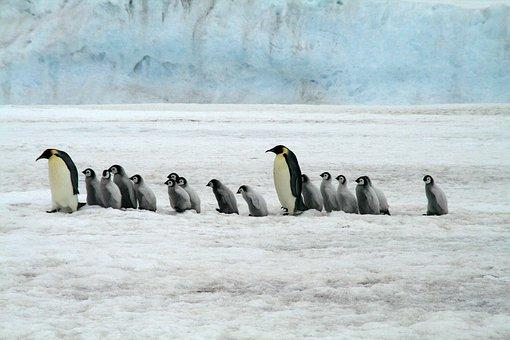 Emperor Penguins, Antarctica, Wildlife