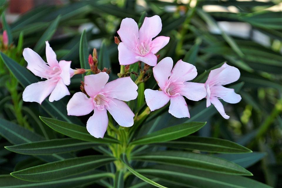 Blumen Rosa Weiß · Kostenloses Foto auf Pixabay