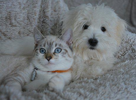 Chien, Chat, Animaux, Chien Chat