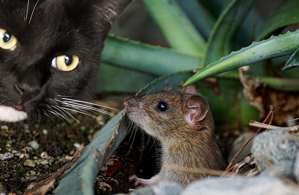 Katze Maus Tier Kostenloses Foto Auf Pixabay