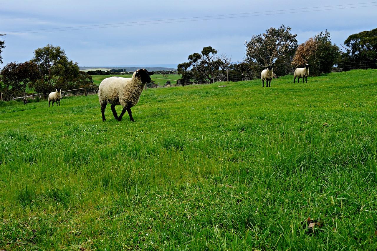 картинки луг с овцами лица