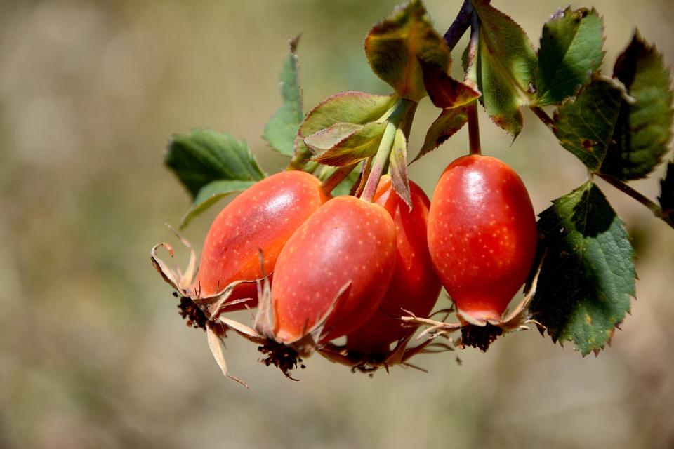 Rose Musquée Fruits Organique En - Photo gratuite sur Pixabay