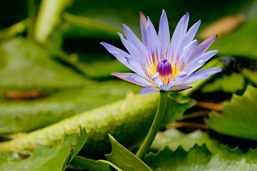 Lotus, Flower, Meditation, Waterlily