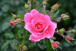 pink, rosebuds