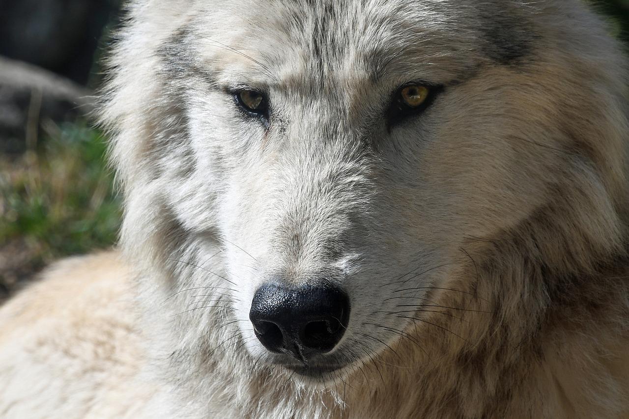 для мужчин фото про волков большие белые обоев кленовые