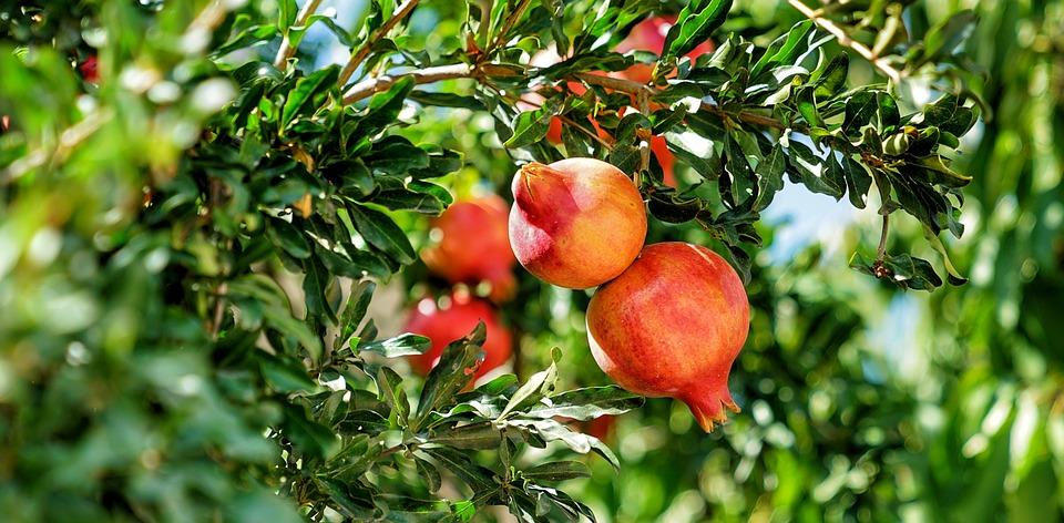 pomegranate tree- cihinese apple