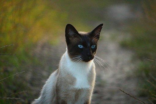 Cat, Siam, Siamese Cat, Siamese, Mieze