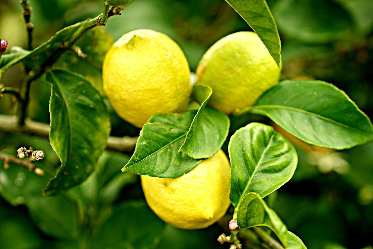 Citrons Citronnier D'Agrumes - Photo gratuite sur Pixabay