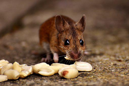 Wood Mouse, Nager, Cute, Eat, Peanuts