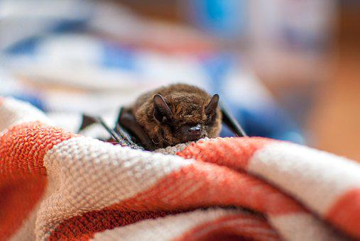Bat, Rodent, Flying, Night, The Darkness