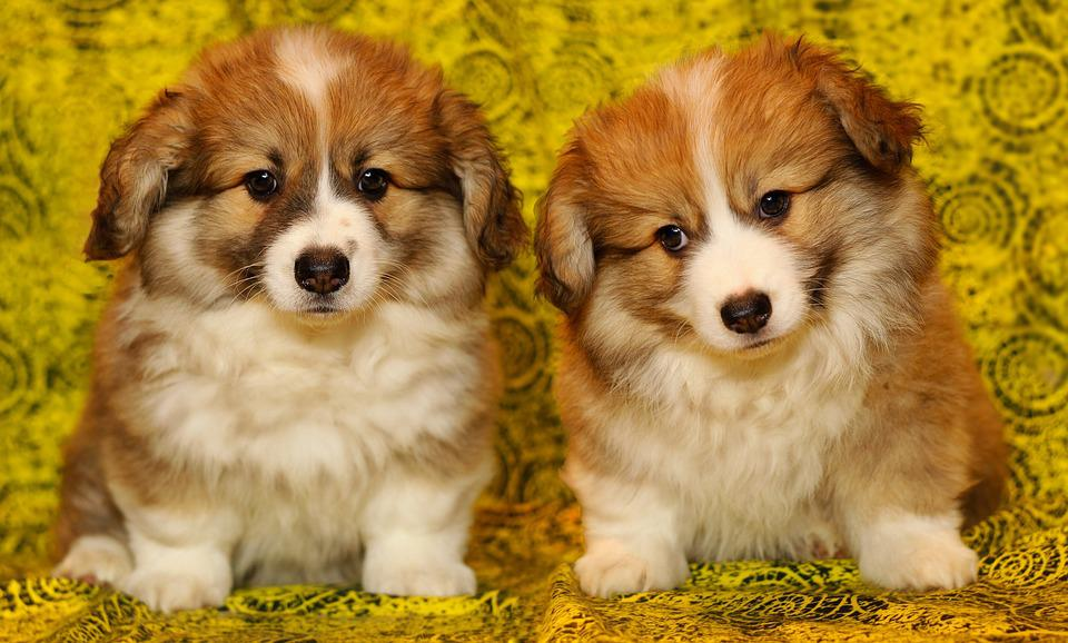 Free photo puppies the pembroke welsh corgi free image on puppies the pembroke welsh corgi pet darling voltagebd Image collections
