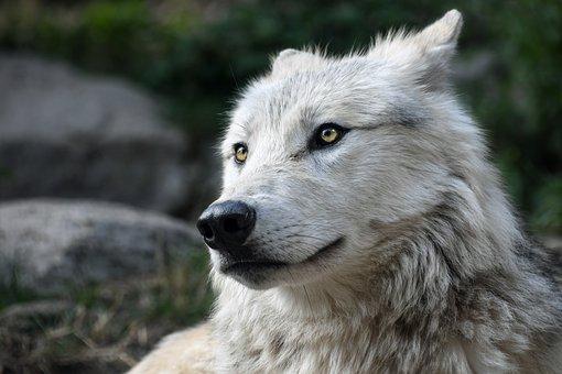 Wolf, Predator, Look, Portrait, Head