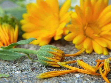 Ringelblume, Calendula, Blüte, Orange