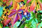 foliage, grapes, colorful