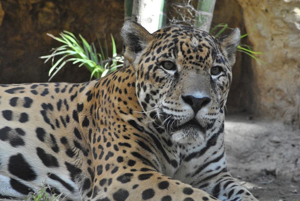 jaguar dierentuin - gratis foto op pixabay