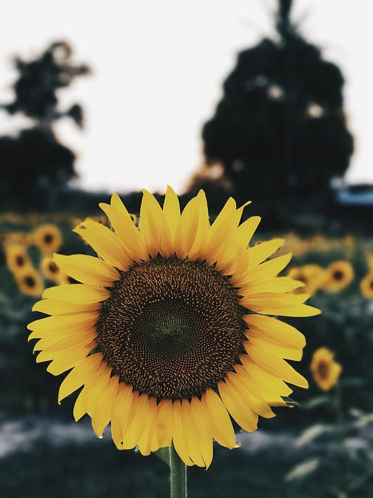 Girasole Girasoli Fiore Foto Gratis Su Pixabay