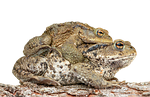 piggyback, toad, frog