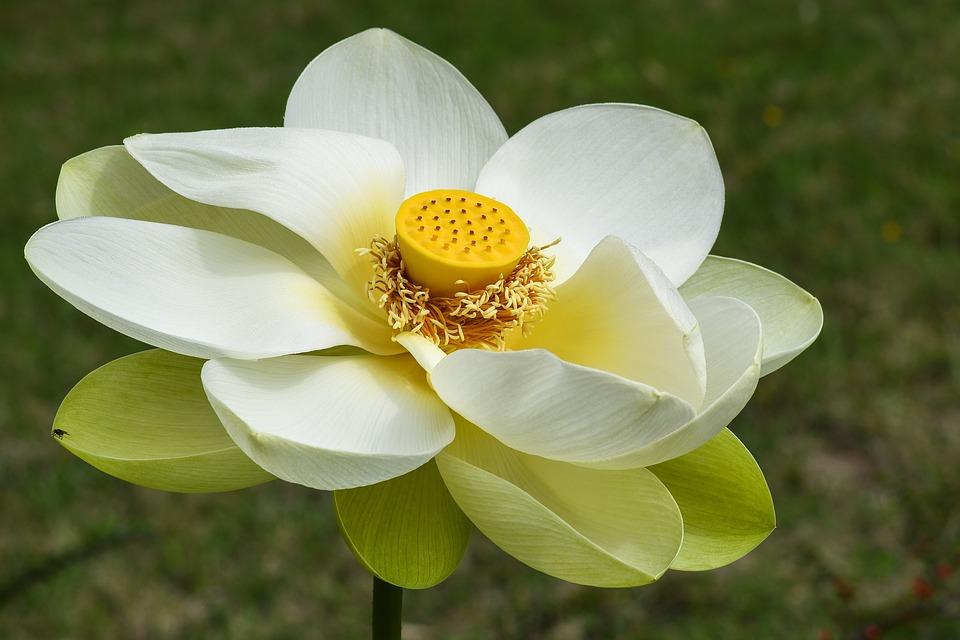 Fleur De Lotus Coeur Plante Photo Gratuite Sur Pixabay