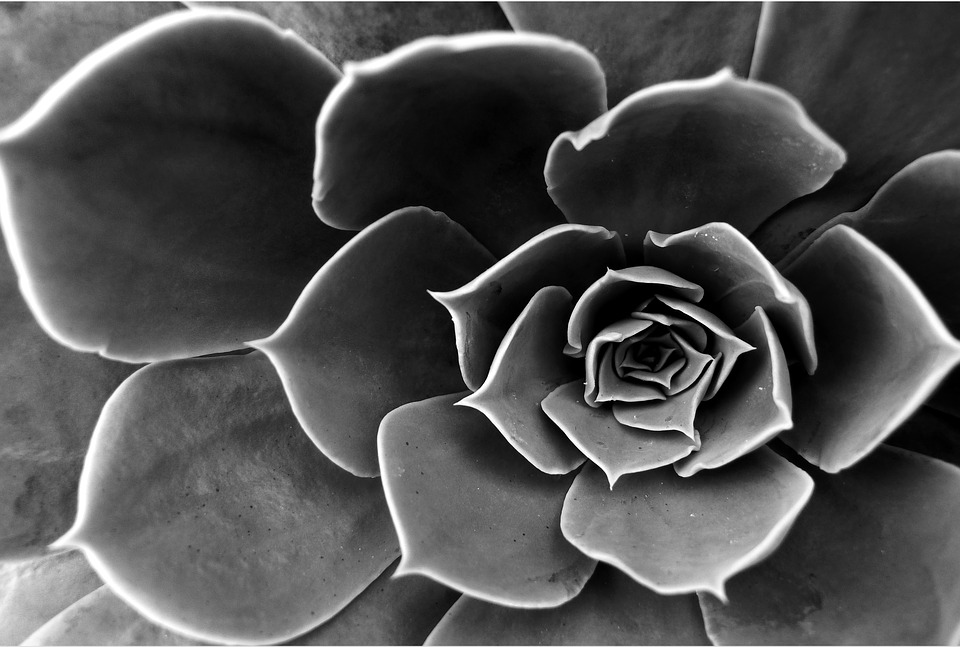 Cactus flower black and white free photo on pixabay cactus flower black and white aloe dead nature mightylinksfo