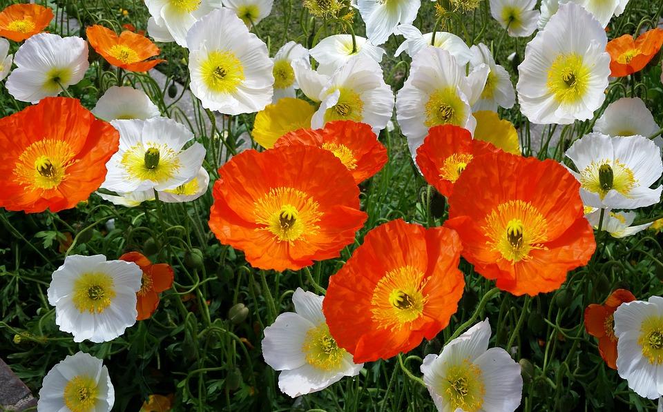 Iceland poppies spring free photo on pixabay iceland poppies spring flower mightylinksfo