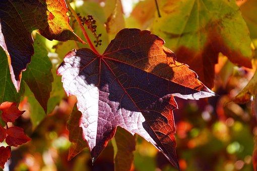 Weinlaub, Wilder Wein, Blätter, Herbst