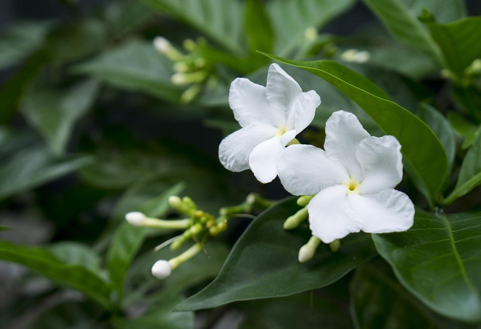 Jasmine, White Flowers, Natural