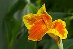 lily, natural, pomp