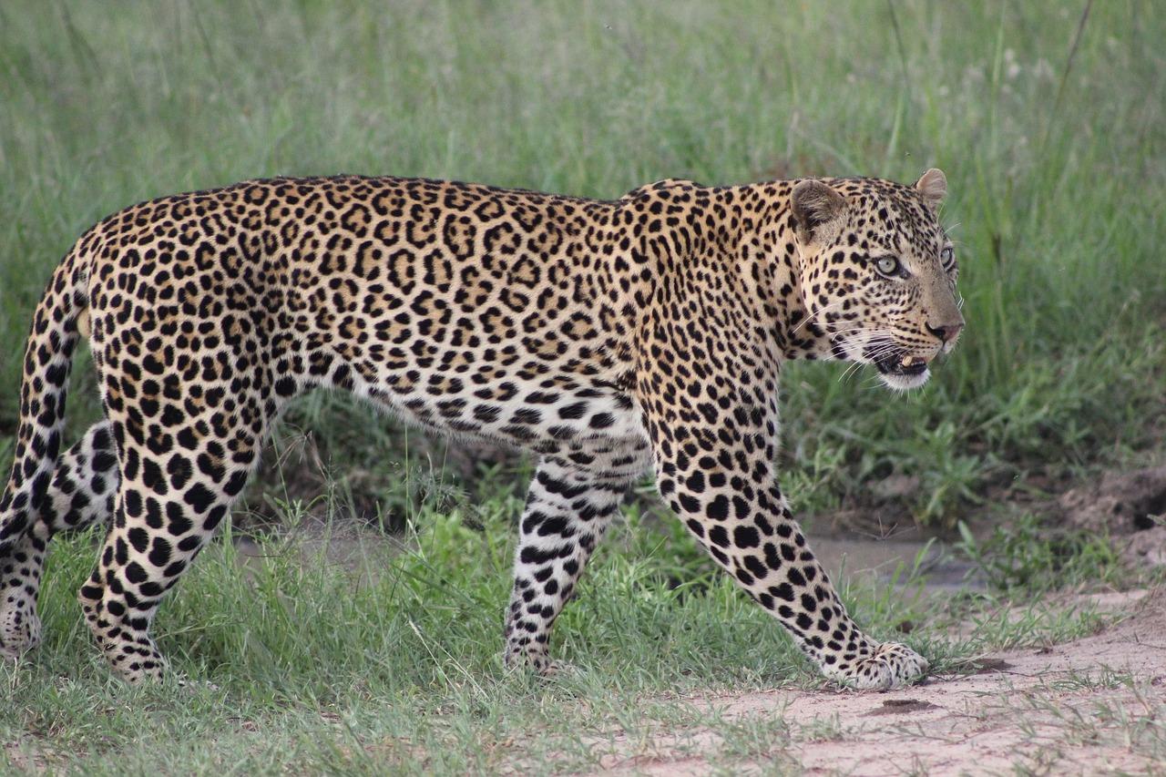 Леопард животное фото чем отличается от ягуара
