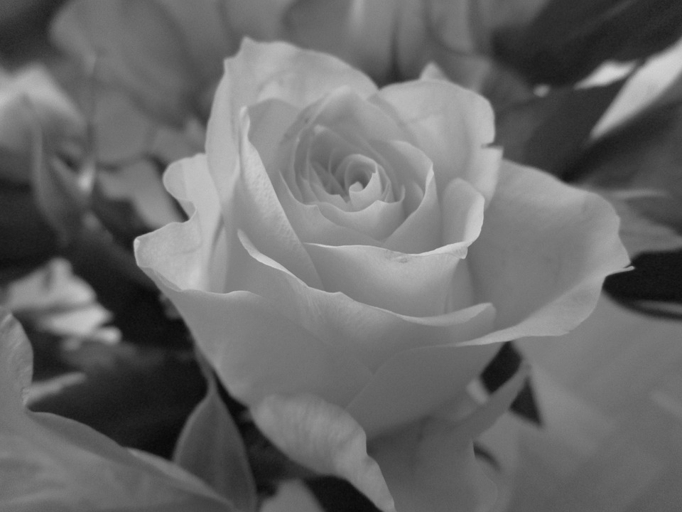 Rose Schwarzweiß Blume · Kostenloses Foto auf Pixabay