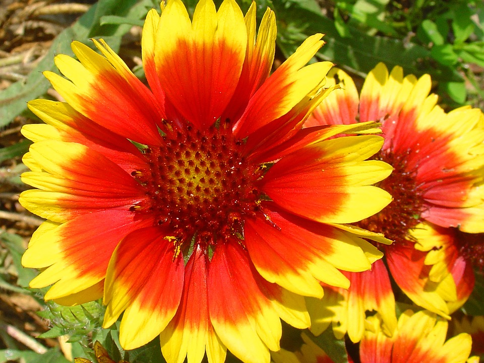 Flowers red yellow free photo on pixabay flowers red yellow red flower nature red flowers mightylinksfo