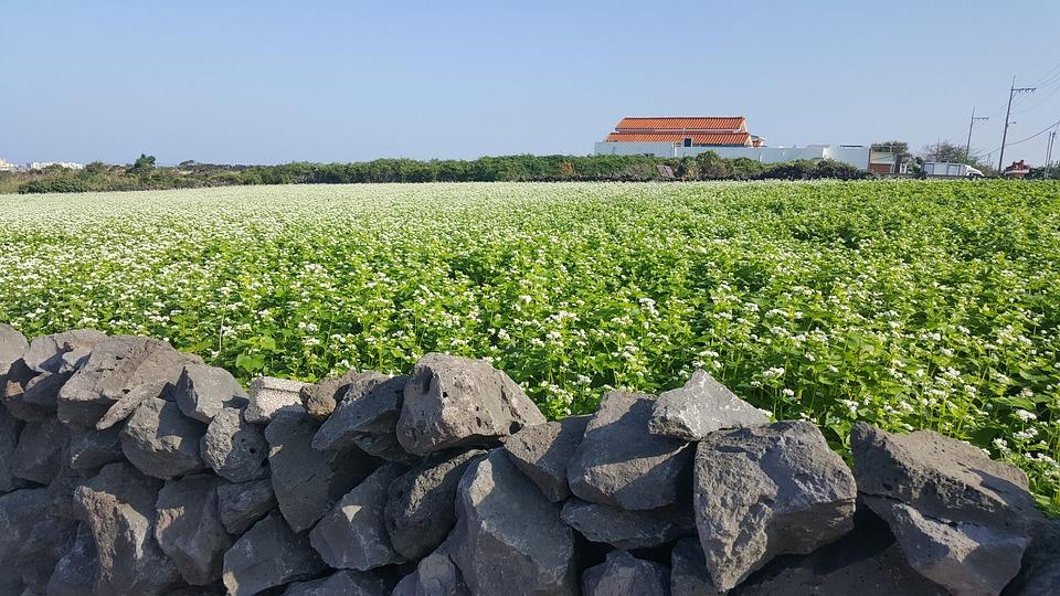 Jeju, Buckwheat Lawn, White Flowers, Landscape