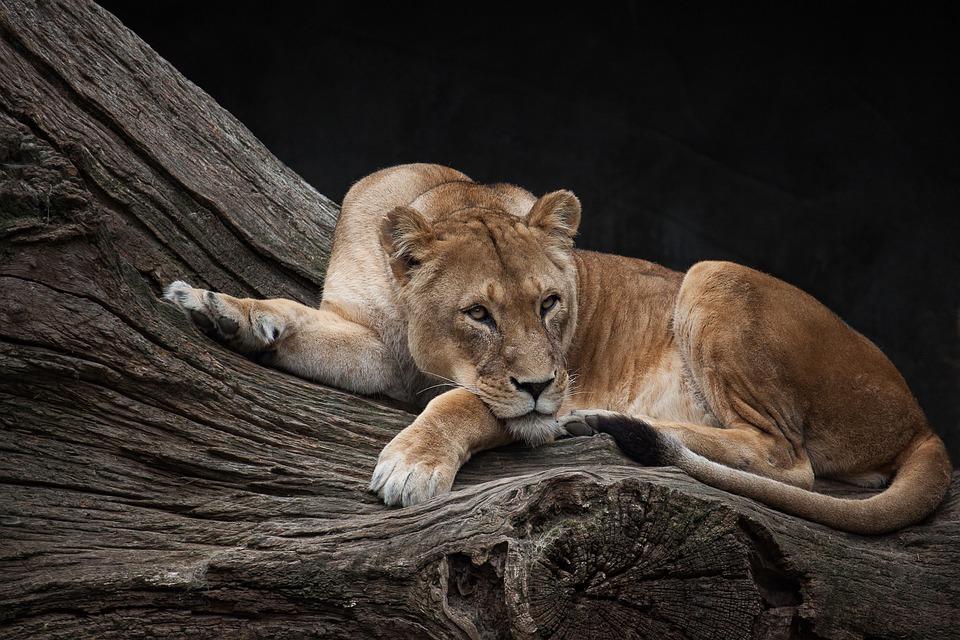 lion-2836491_960_720.jpg