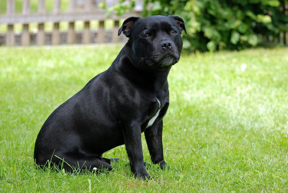 Animal, Dog, Staffordshire-Bull-Terrier, Model Sit,dogs breeds that start with s