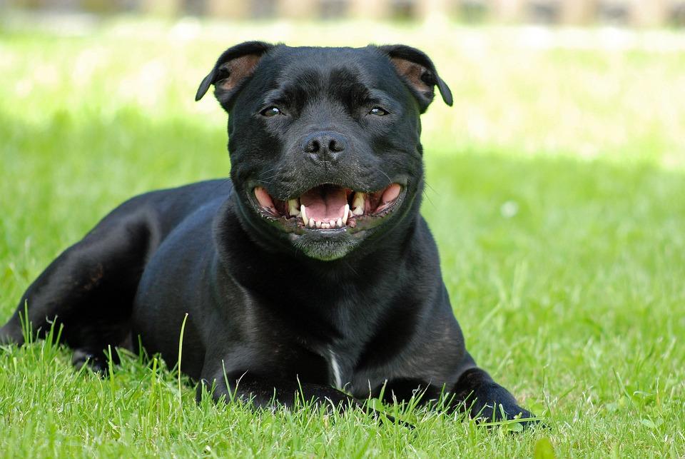 Animal, Dog, Staffordshire-Bull-Terrier, Attention