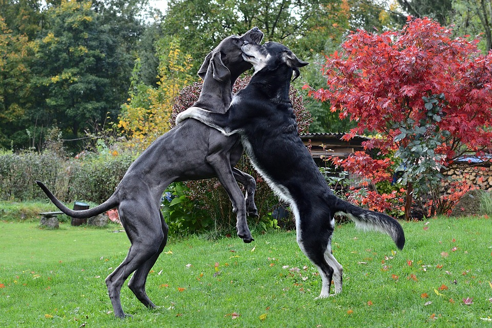 Il Cane Un Abbraccio, Alano, Due Cani
