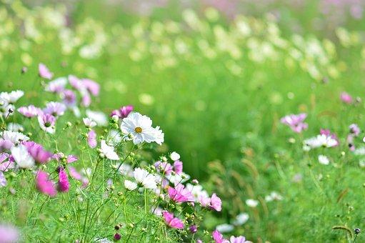 風景, 植物, 花, 自然, 秋, 緑, 花畑, コスモス, かわいい, 黄色
