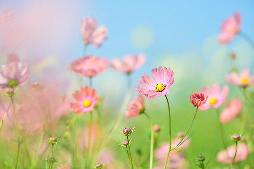 植物, 花, 自然, 緑, フラワー ガーデン, コスモス, かわいい, ピンク