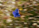 motyl, niebieski, skrzydełka