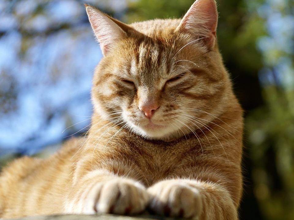 Cat Animal Pet Domestic 183 Free Photo On Pixabay