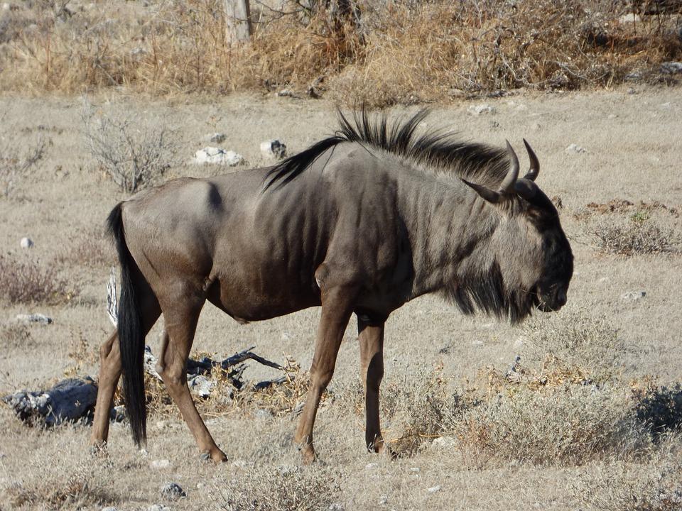 Wildlife, Wildebeest, Namibia
