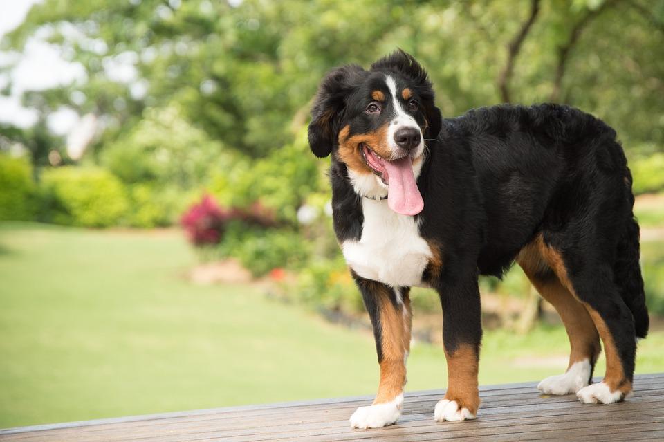 Dier, Hond, Berner Sennenhond