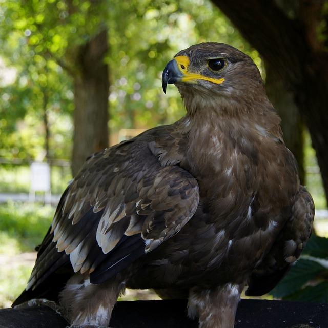 2018 White Raptor >> Eagle Hawk Golden · Free photo on Pixabay