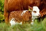 calf, animal, young animal